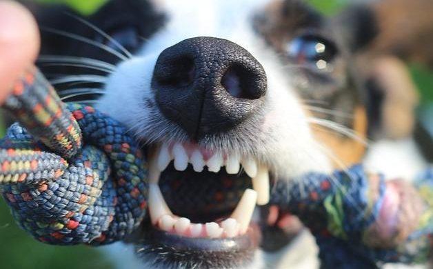 Dolor de dientes en perros adultos